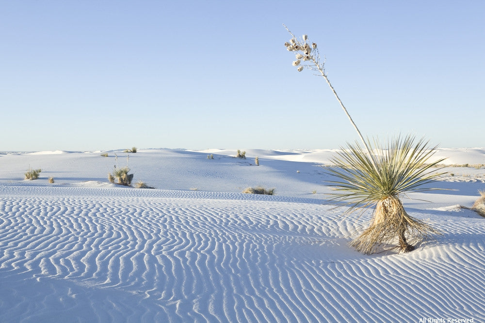 Yucca in the Sand