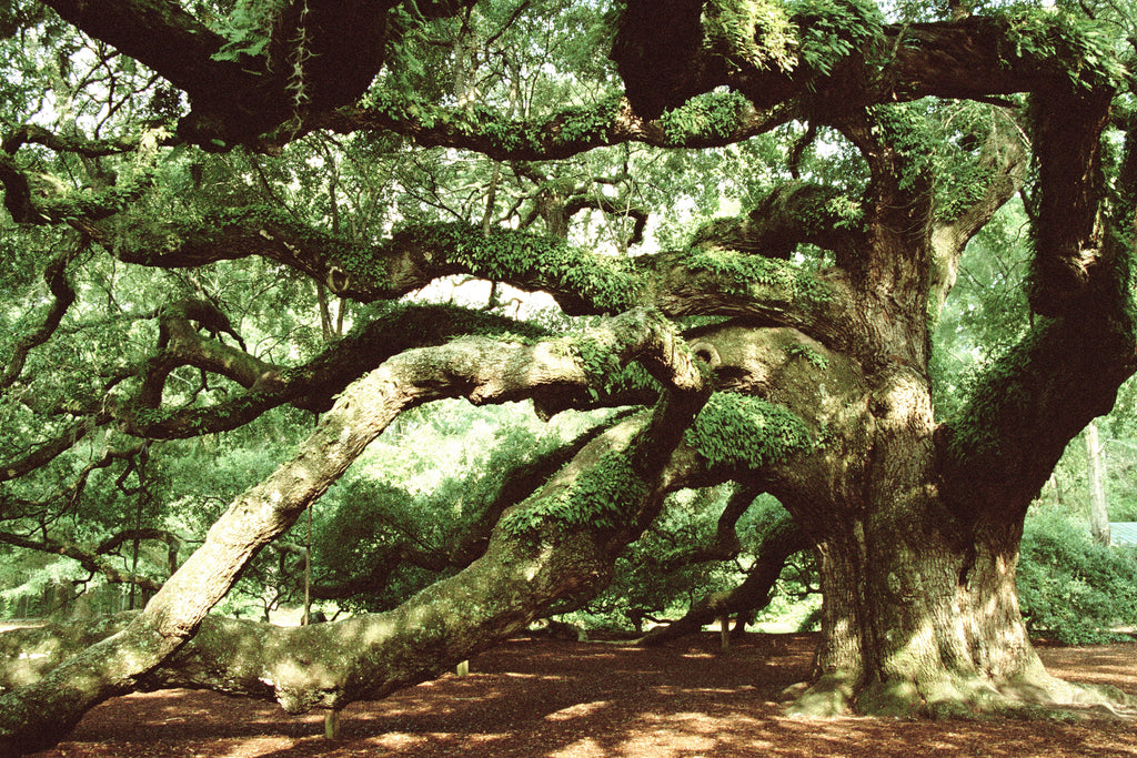 Magnificent Oak