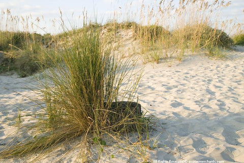 Beach Grass/Folly Beach