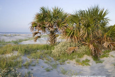 Folly Palms