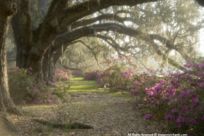 Charleston South Carolina, Magnolia Plantation, spring flowers, azaleas