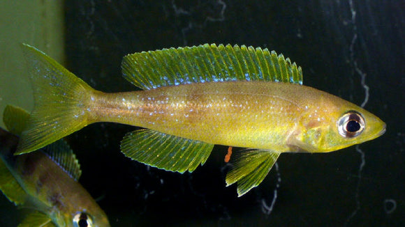 Cyprichromis Microlepidotus Lyamembe