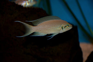 Neolamprologus Pulcher Red Spot