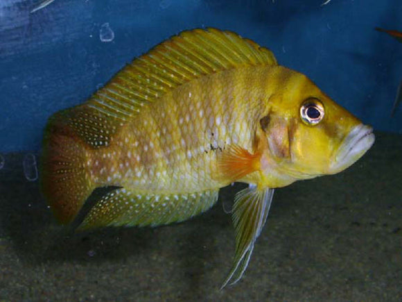 Altolamprologus Compressiceps Gombe Red