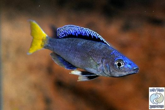 "Cyprichromis Leptosoma ""Blue Flash"" Mpulungu"