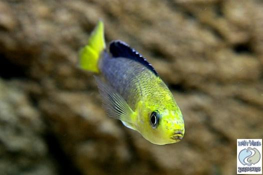 "Cyprichromis Leptosoma ""Yellow Head"" Kipili"