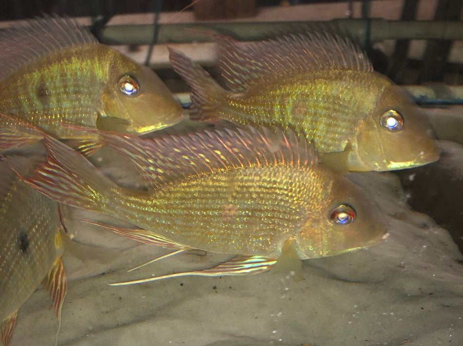 3 Geophagus Altifrons EXTRA EXTRA LARGE
