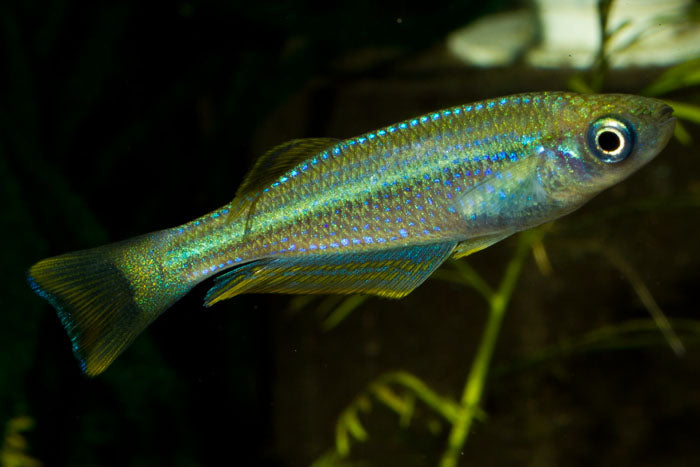lamprichthys tanganicanus EXTREMELY RARE