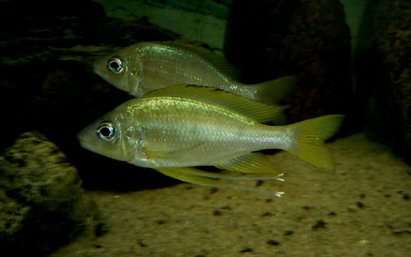 Ophthalmotilapia Nasuta Cameron Bay