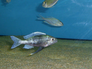Ophthalmotilapia Ventralis Chisanse
