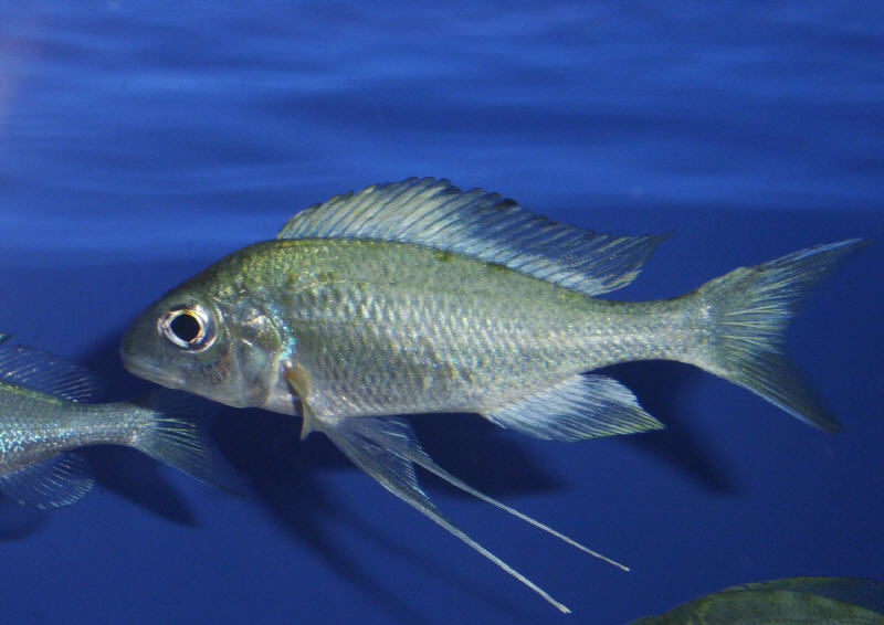 Ophthalmotilapia Ventralis Zongwe