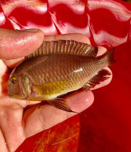 WILD Tropheus Kitumba NEW IMPOSSIBLE FIND