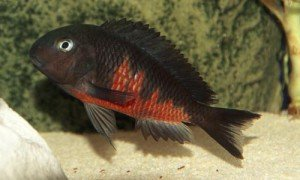 5 Tropheus Red Belly EXTREMELY RARE