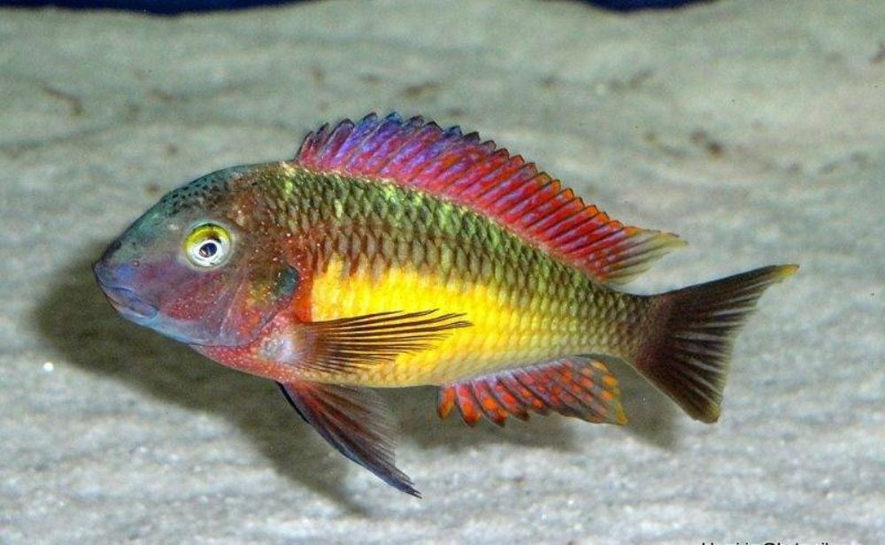 Tropheus Red Rainbow (COMING SOON)