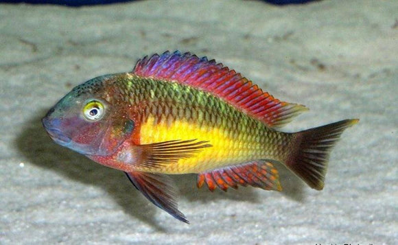 3 MALES 7 FEMALES WILD Tropheus Red Rainbow LAST ONES