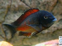 Tropheus Chipimbi Red Stripe