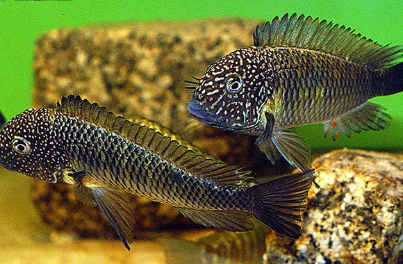 Breeding Group of 6 Tropheus Murago Tanzania EXTREMELY RARE