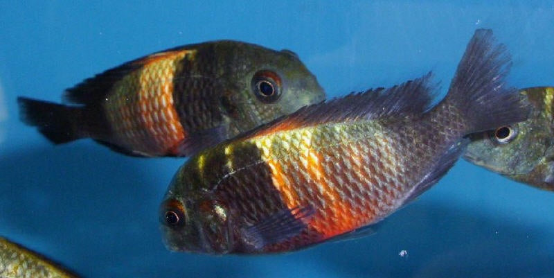 6 Tropheus Red Saddle BREEDING
