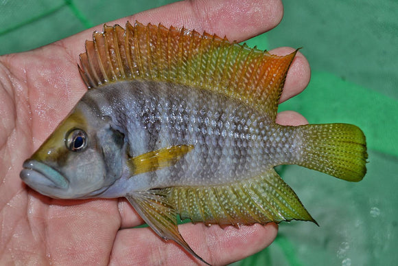 Altolamprologus Calvus Yellow VERY NICE