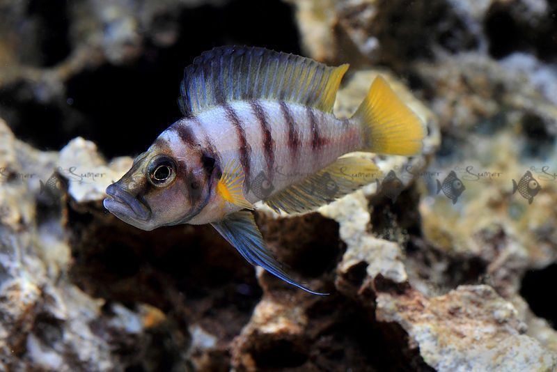 Altolamprologus Sumbu Dwarf ADULTS