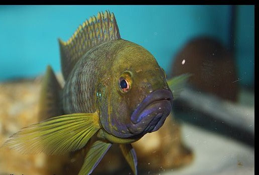 Ctenochromis Benthicola EXTREMELY RARE BREEDING GROUP 2 males 4 females.PRICE IS FOR THE GROUP.