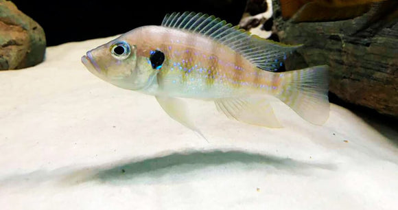 WILD Greenwoodochromis christyi (COMING SOON)