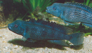 Lamprologus Congoensis (extremely rare)