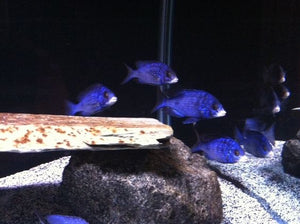 Placidochromis Madoka White lips
