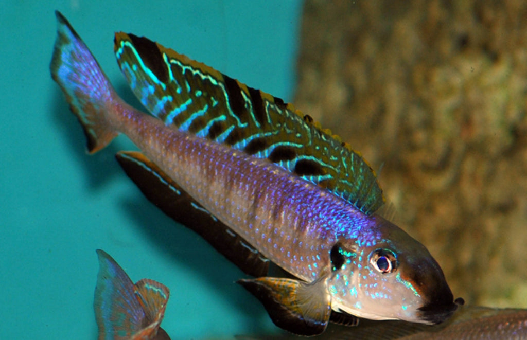 Enantiopus Melanogenys Namansi 2 male 2 females