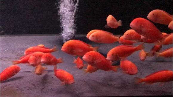 BREEDING GROUP OF 10 Tropheus Chipimbi Albino EXTREMELY RARE PRICE IS FOR THE GROUP.