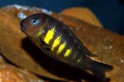 Breeding group of Tropheus Uwile Firey Fry LARGE (price is for the group)