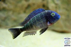 Tropheus Lufubu Purple Rainbow