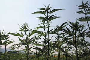 Washington state opens hemp opportunities, setting up conflicts with marijuana producers