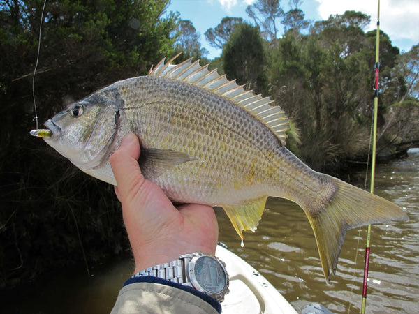 Strike Tiger bream