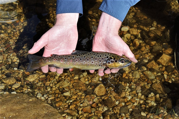 Strike Tiger brown trout