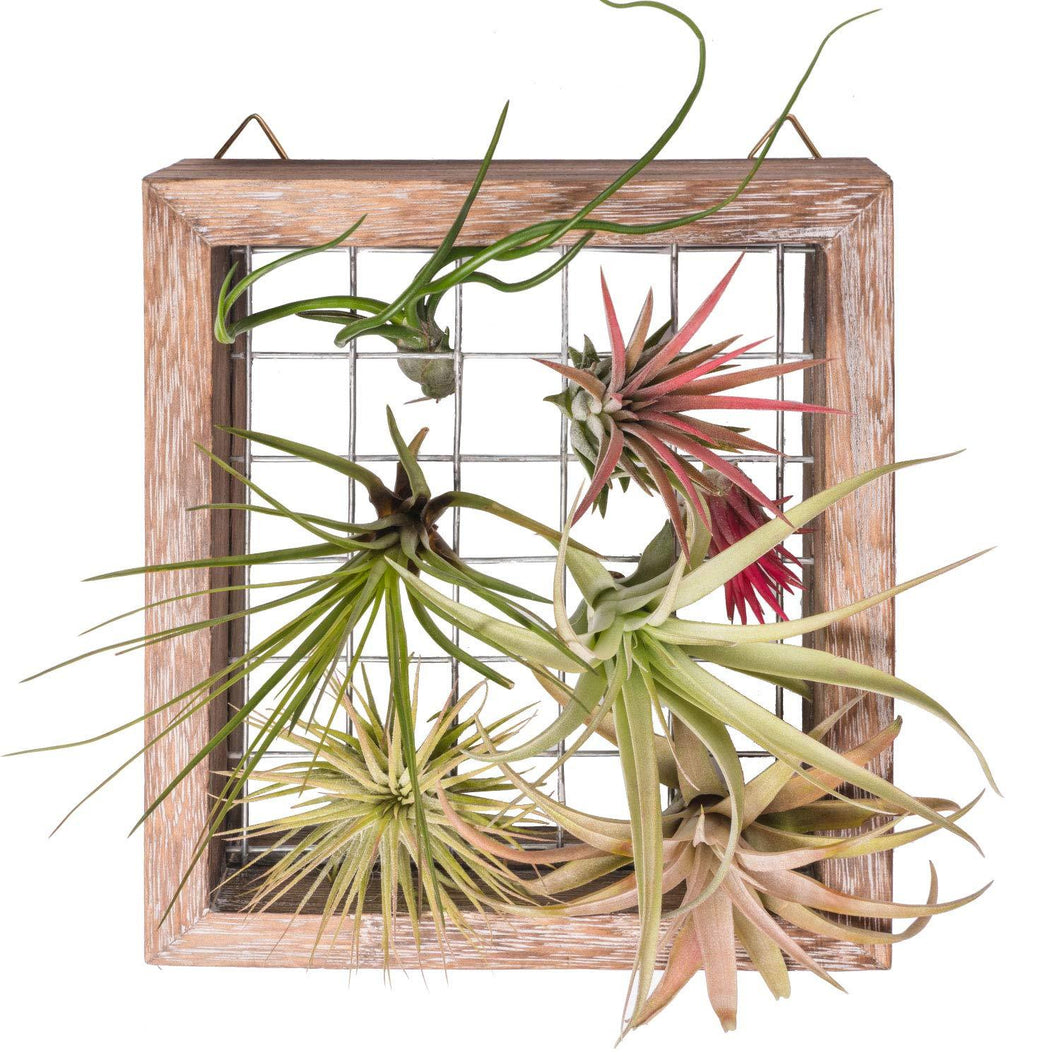 Air Plant Frame Wall Hanging