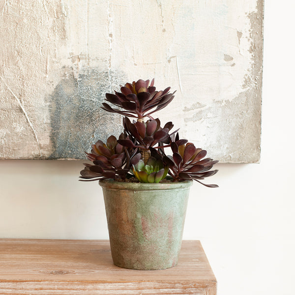 Aeonium Succulent in Textured Pot