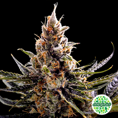 Sweet Seeds Autoflorecientes