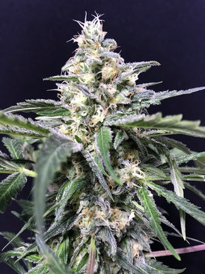 Amnesia - Amazon Haze