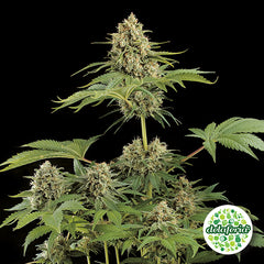 Natural Seeds Bank Fem