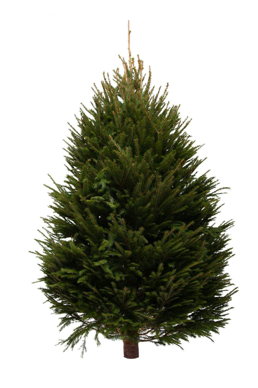 11ft Norway Spruce Christmas Tree from Pines and Needles