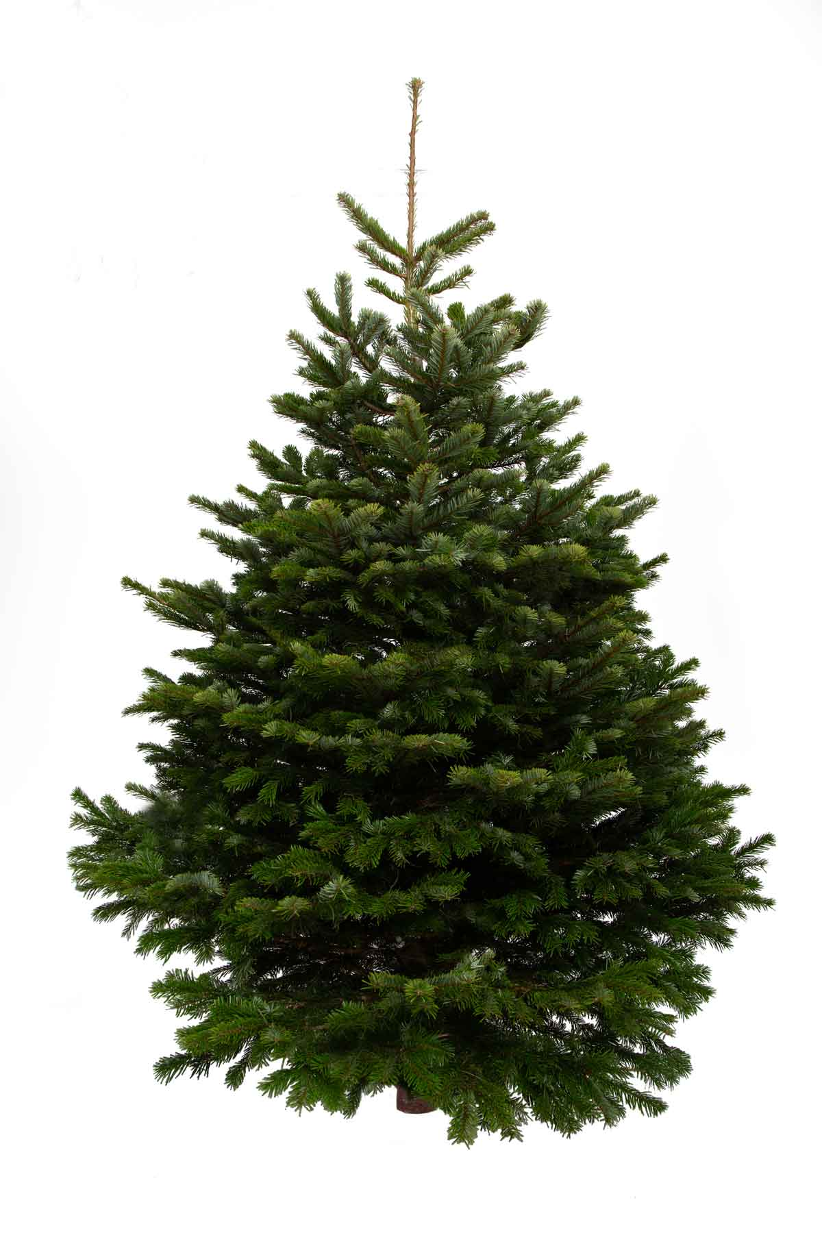 Indoor Christmas Tree - Nordmann Fir - from Pines and Needles