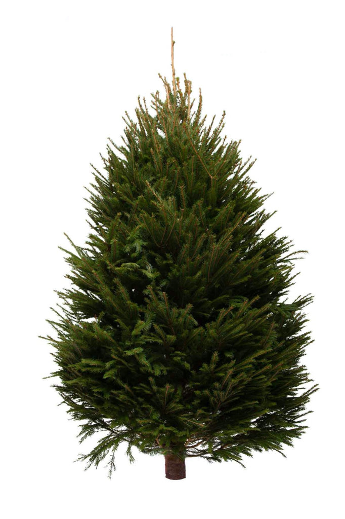 Norway Spruce Real Christmas Tree 6ft