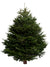 11ft Nordmann Fir Christmas Tree from Pines and Needles