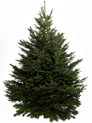 12ft Nordmann Fir Christmas Tree from Pines and Needles