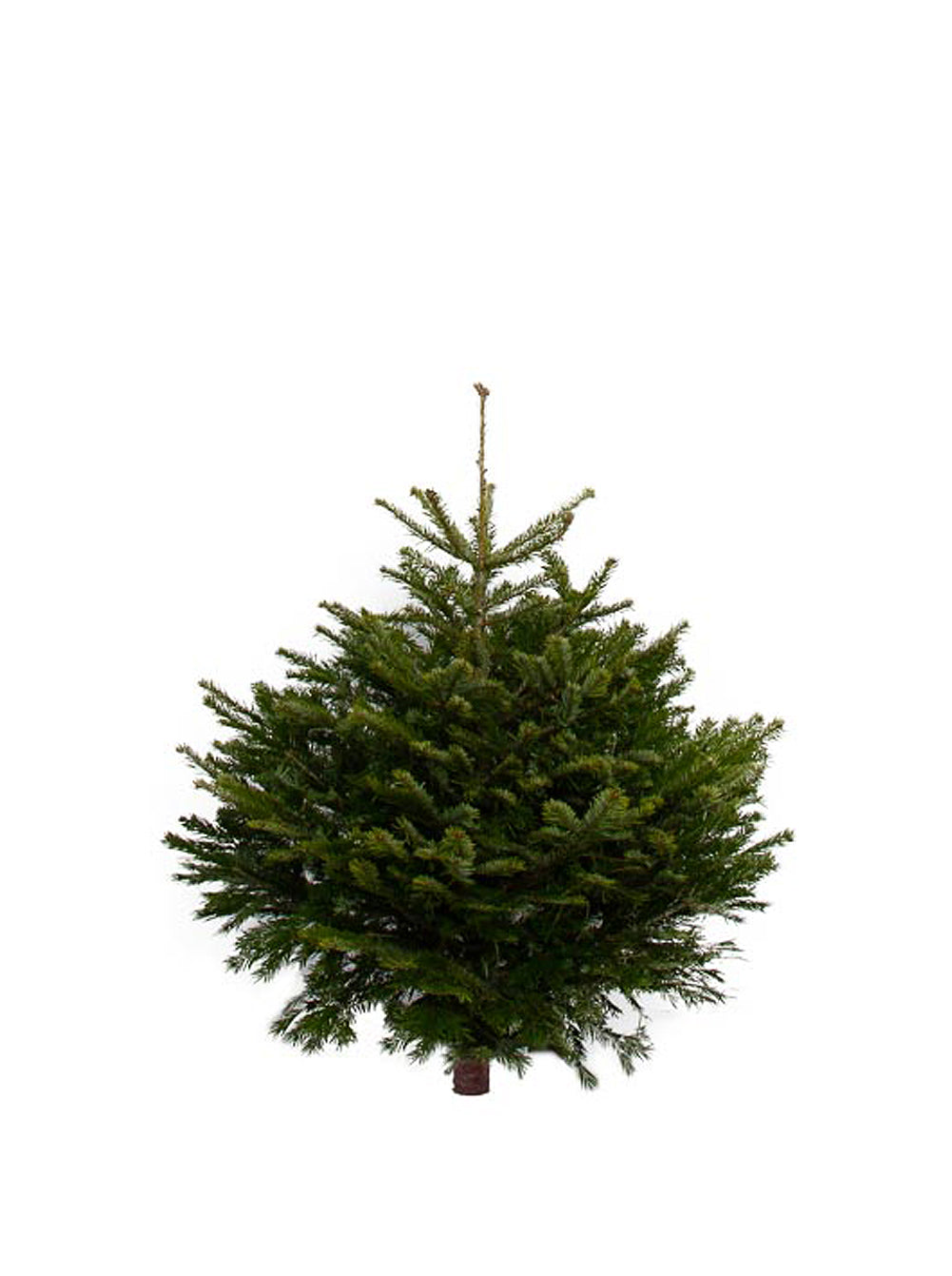 3ft Nordmann Fir Christmas Tree from Pines and Needles
