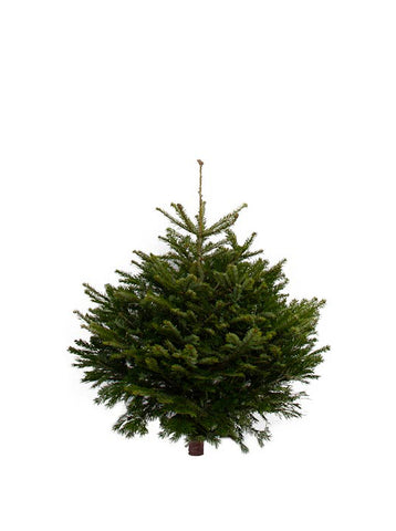 3ft Nordmann Fir