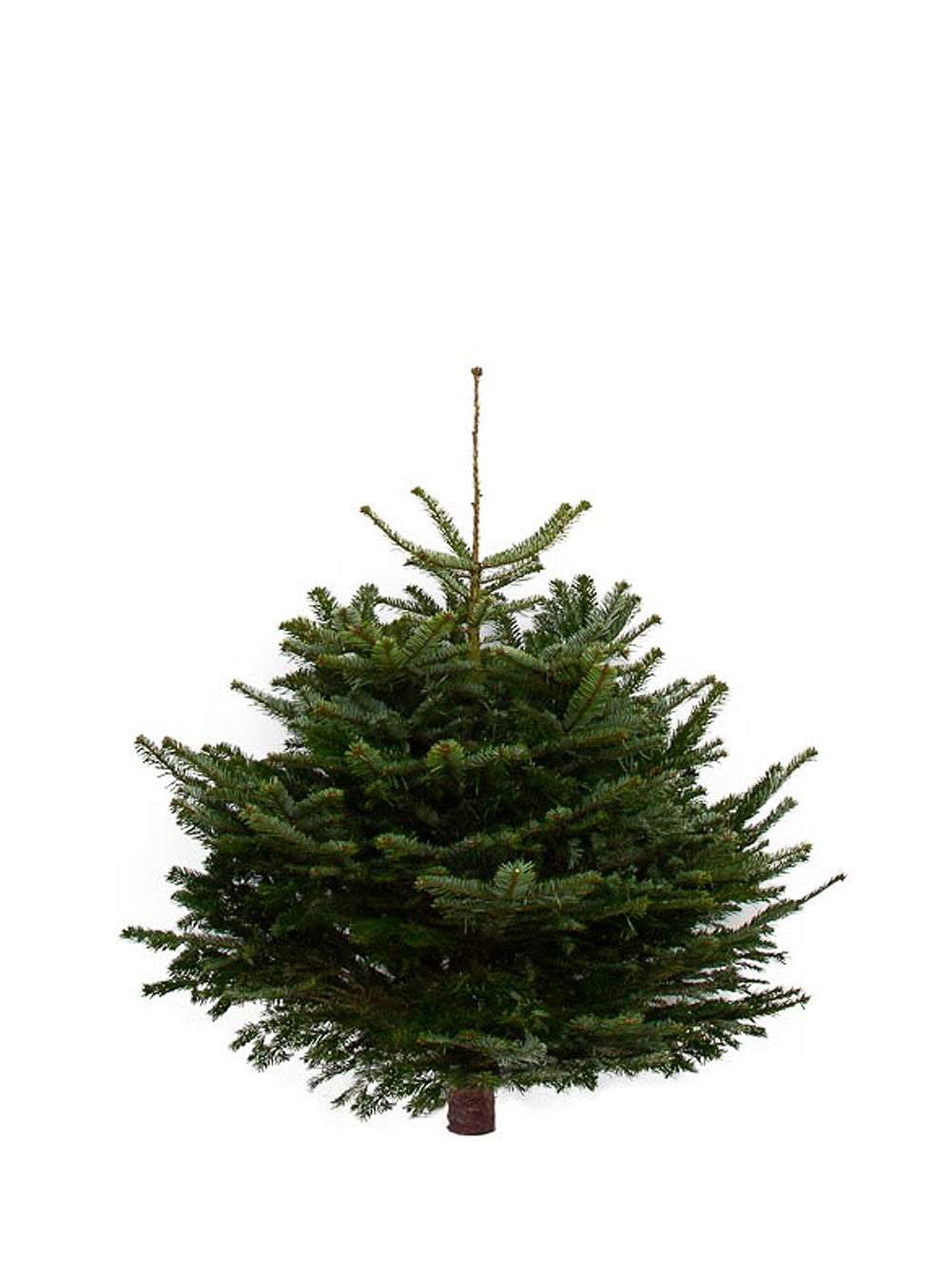 4ft Nordmann Fir Christmas Tree from Pines and Needles