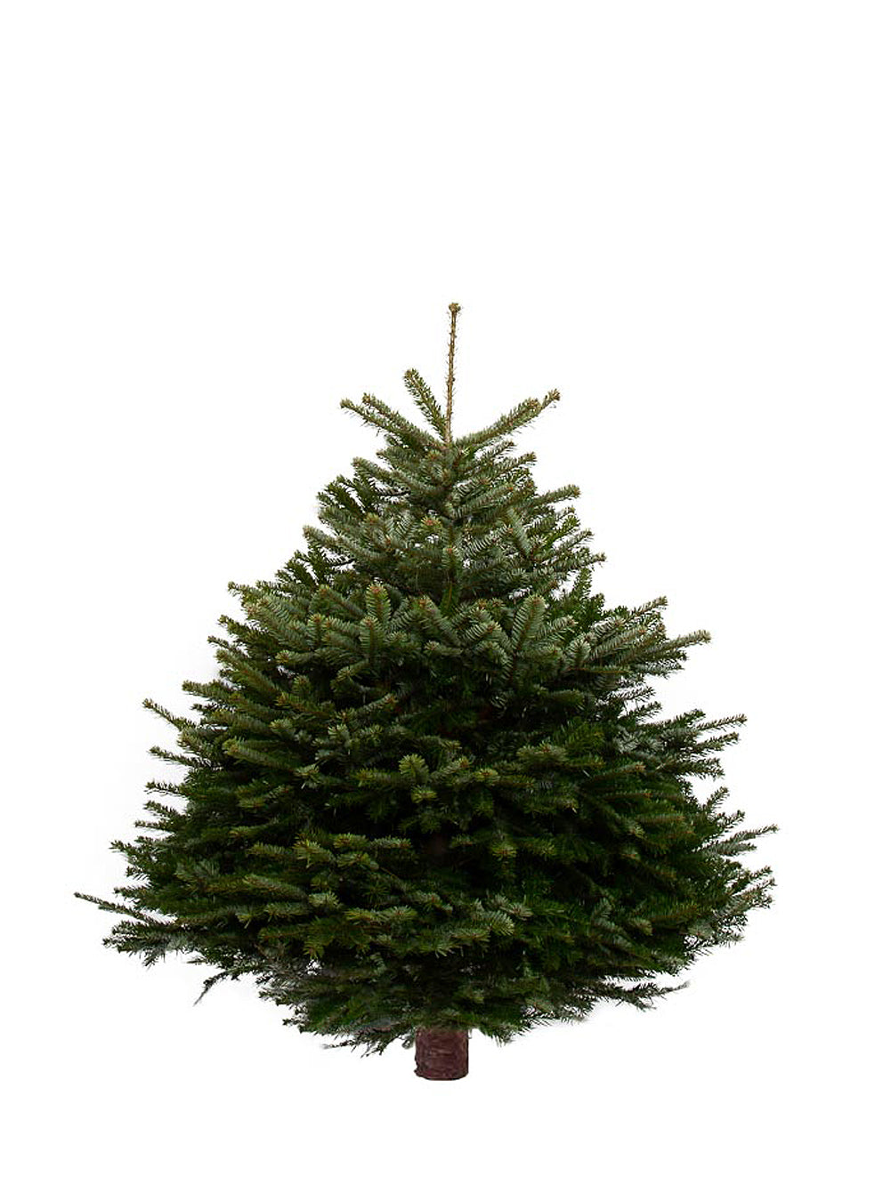 5ft Nordmann Fir Christmas Tree from Pines and Needles