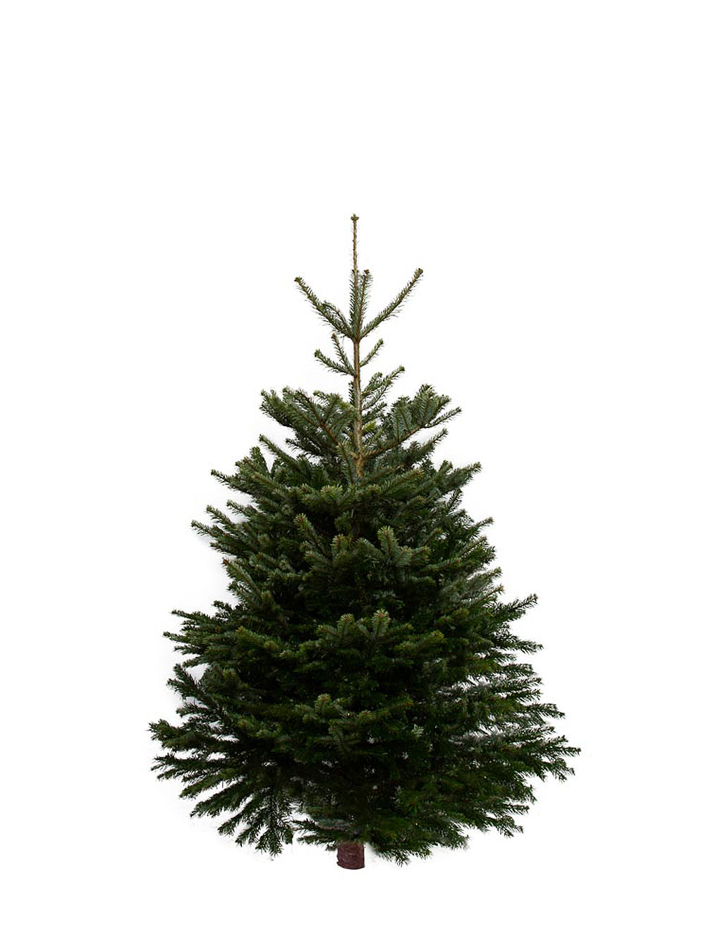 6ft Nordmann Fir Christmas Tree from Pines and Needles